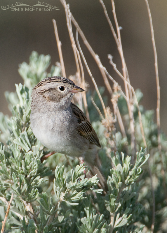 Brewer's Sparrow on a Sagebrush near the Flaming Gorge Reservoir