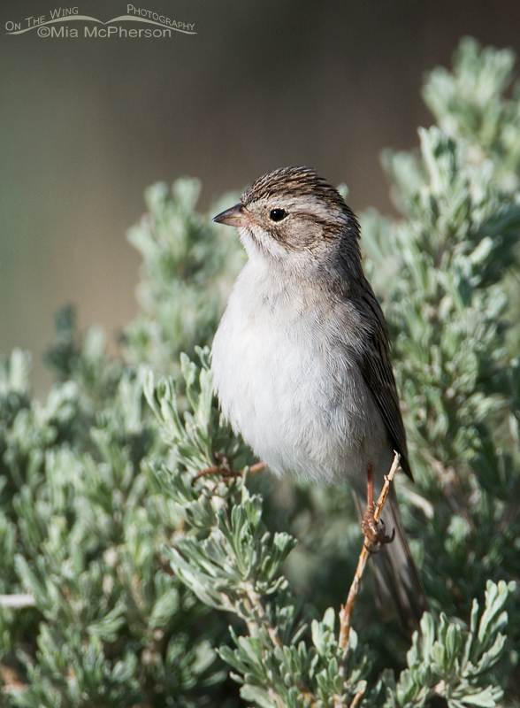 Alert Brewer's Sparrow