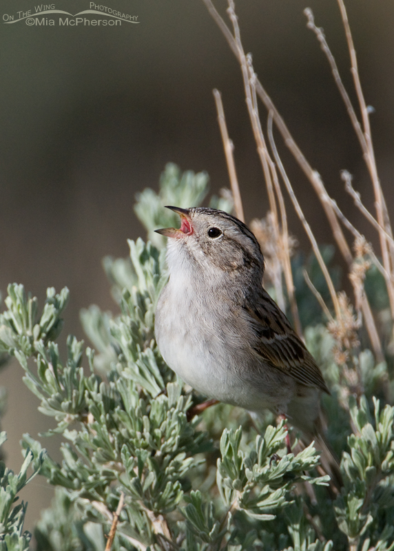 Singing Brewer's Sparrow