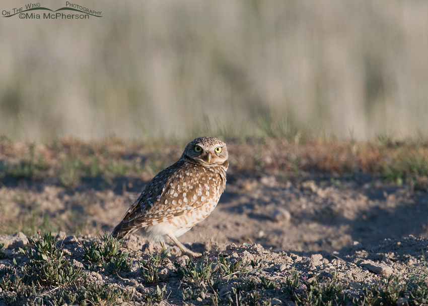 Burrowing Owl adult