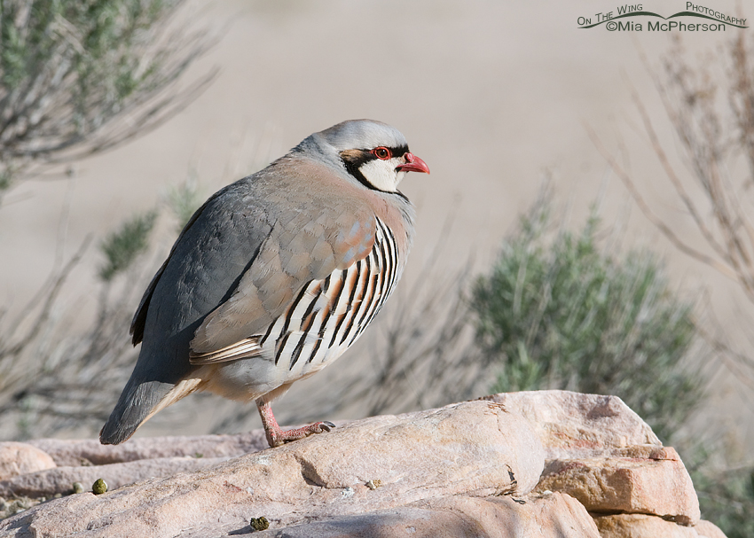 Chukar on a lofty perch