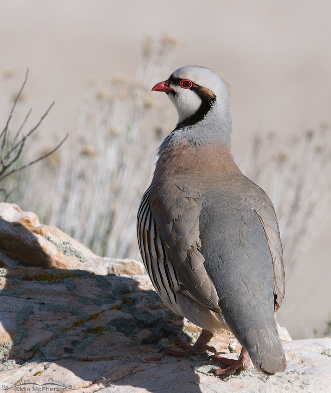 Chukar near the marina on Antelope Island State Park