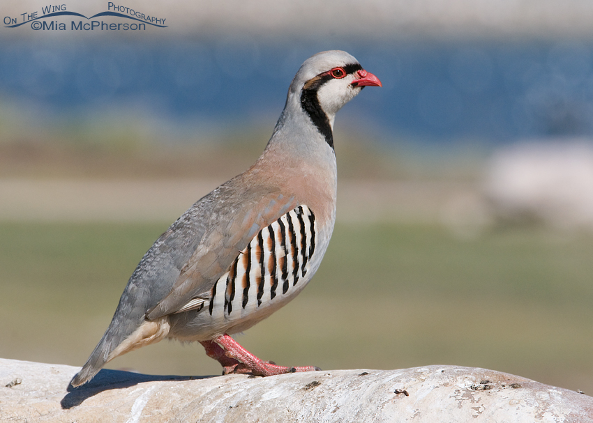 Chukar on Antelope Island