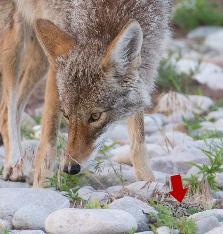 Look at the red arrow next to the Coyote
