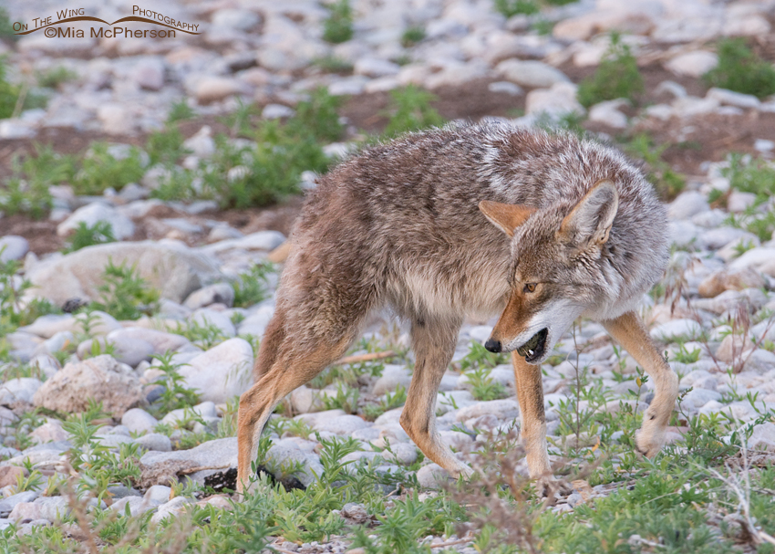 Coyote with the egg in its mouth