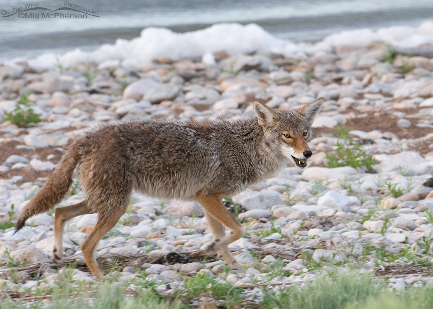 Moving down the causeway with the egg still in the Coyote's mouth