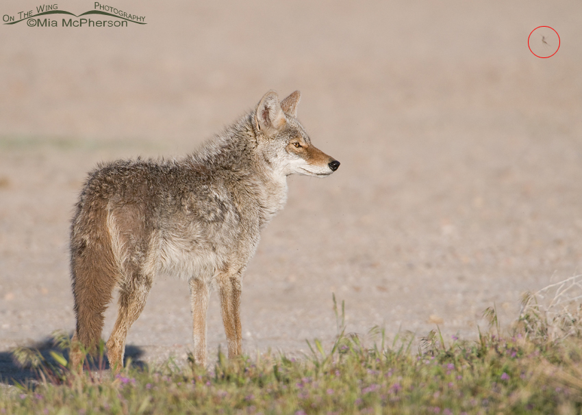 Coyote with a Midge in the frame