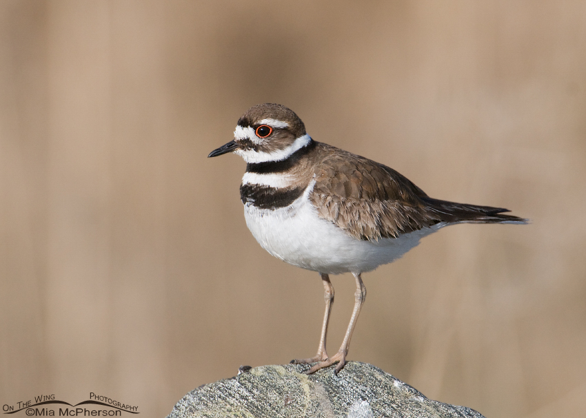 Killdeer on a rock