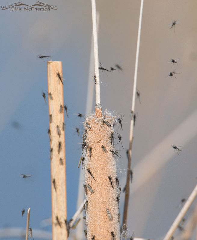 Midges on Cattails