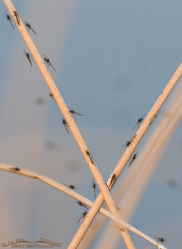 Midges on Rushes