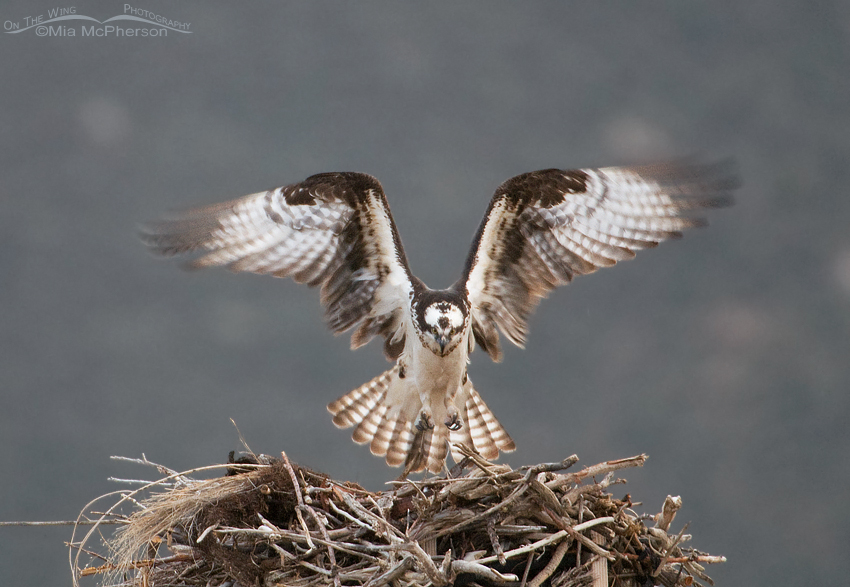 Female Osprey in low light