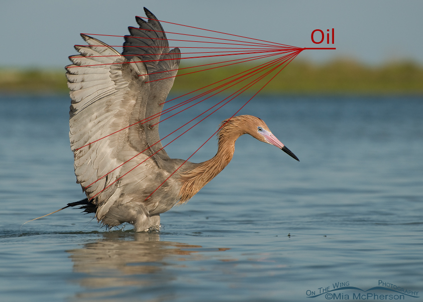 Reddish Egret with Oil on it