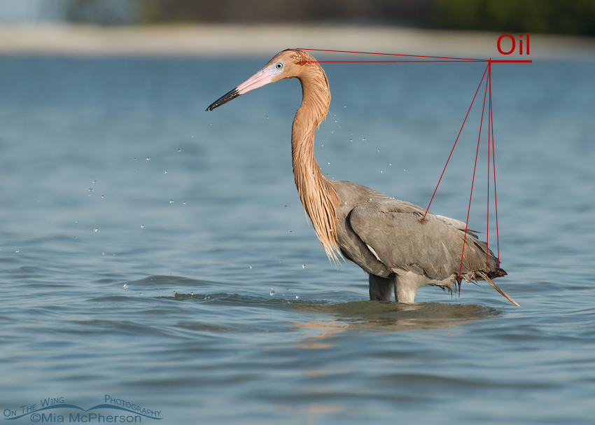 Pointing to the oil on a Reddish Egret