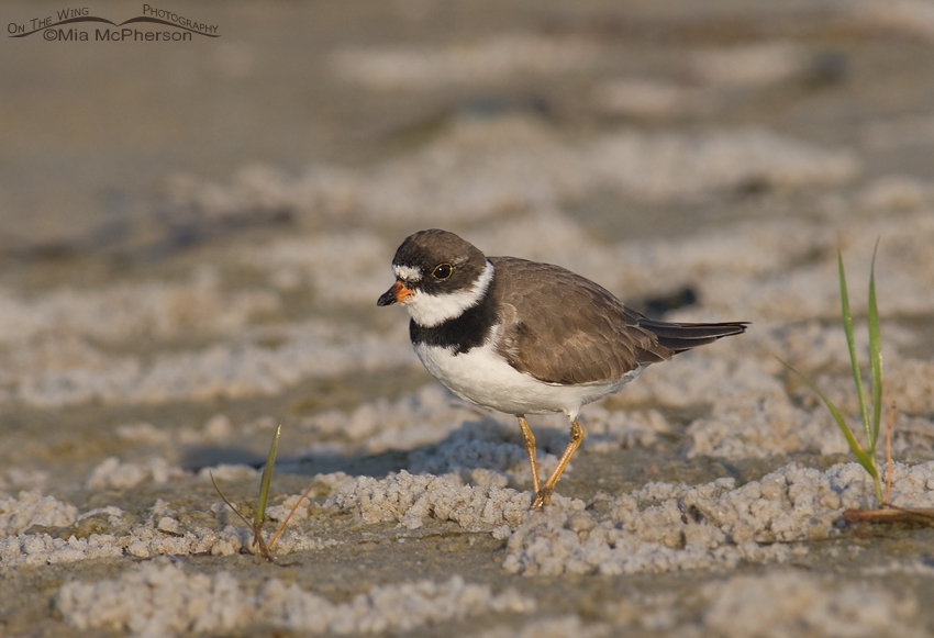 Semipalmated Plover on mudflats
