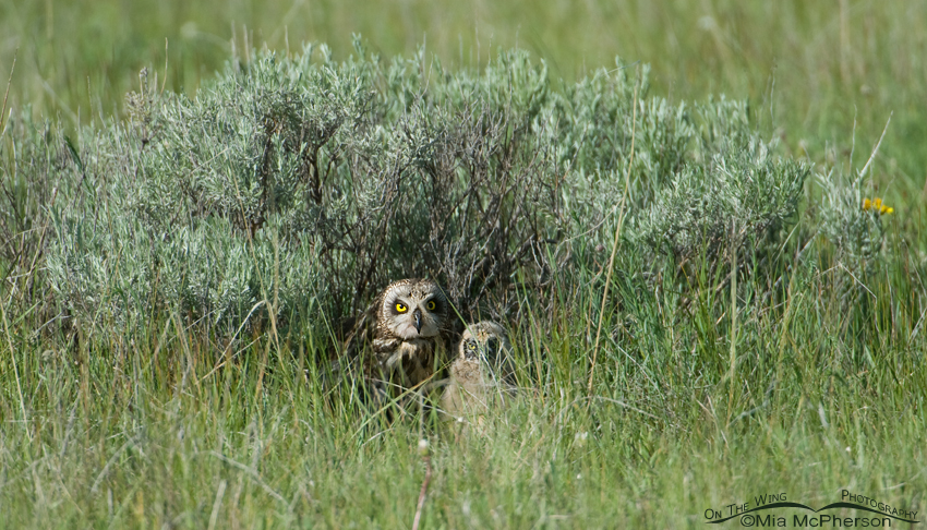 Female Short-eared Owl and chick at nest