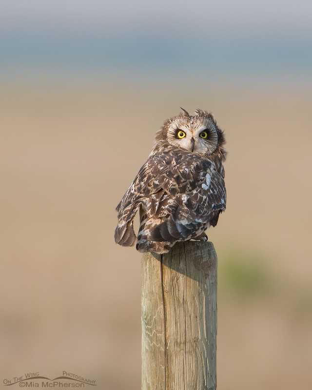 Short-eared Owl with tufts showing