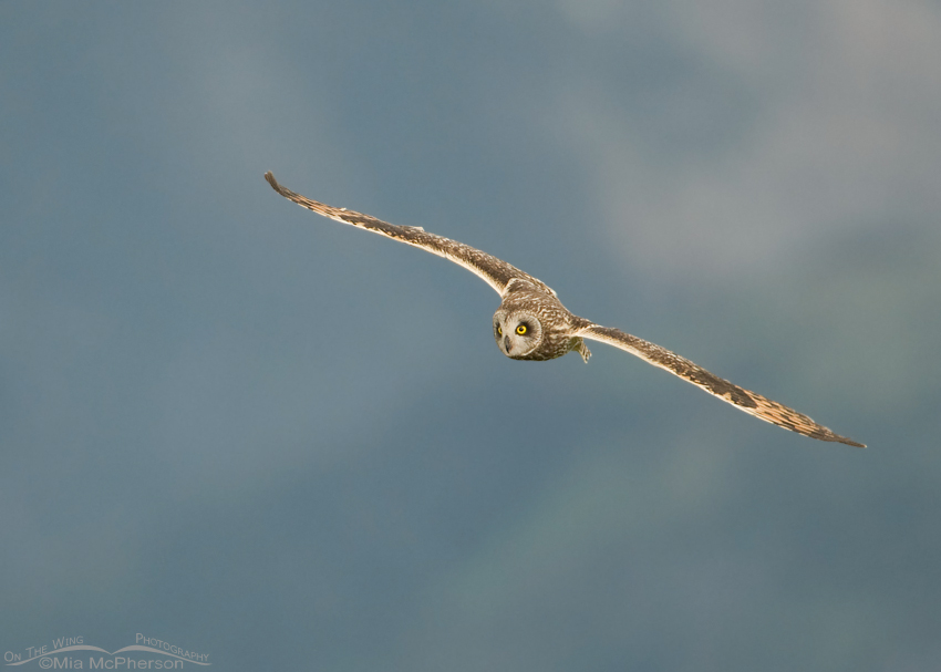 Male Short-eared Owl with Centennial Mountains in the background