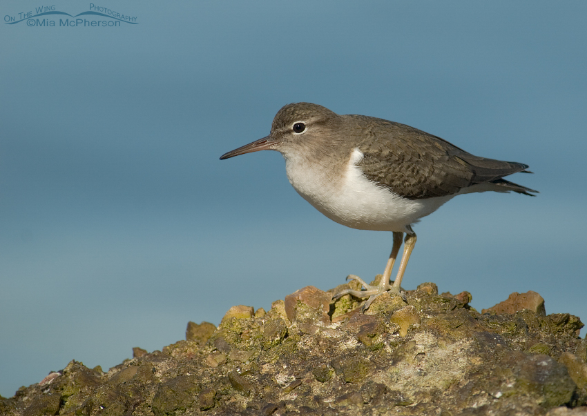 Spotted Sandpiper on a seawall
