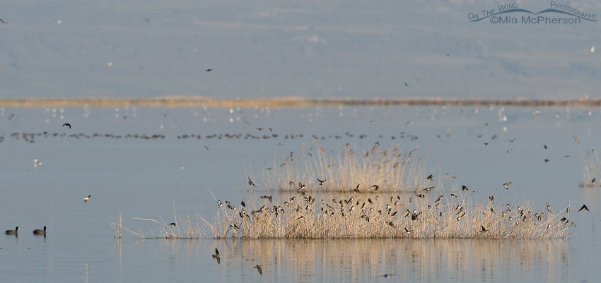 Hundreds of swallows at Bear River National Wildlife Refuge