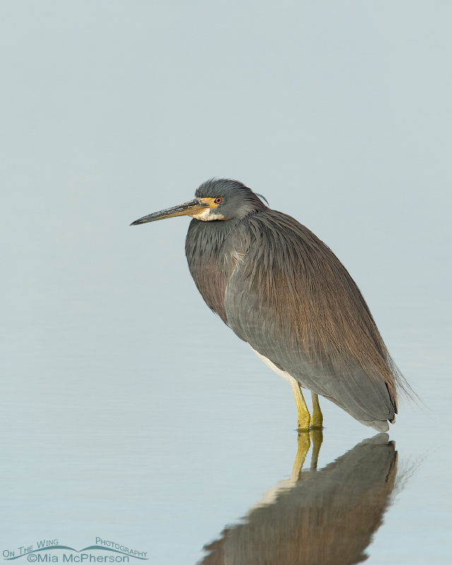 Tricolored Heron in pastel water and soft light