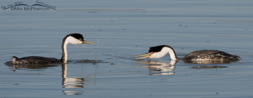 Western Grebes in a courtship display