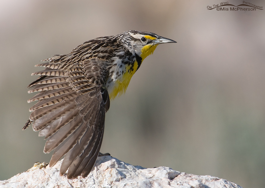 Western Meadowlark stretching