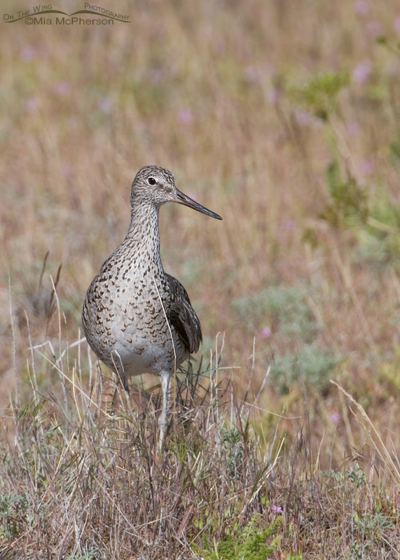 Willet on Antelope Island in May