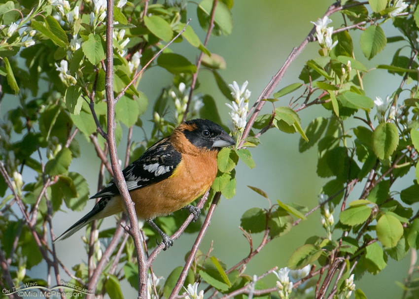 Black-headed Grosbeak foraging