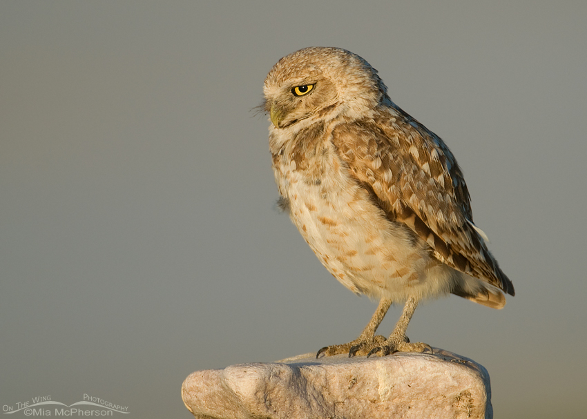Adult Burrowing Owl