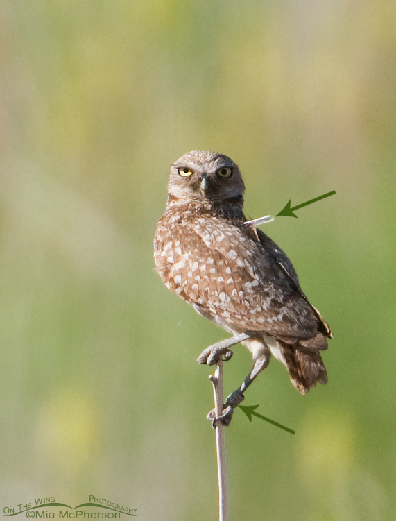 Banded Burrowing Owl adult with telemetry device?