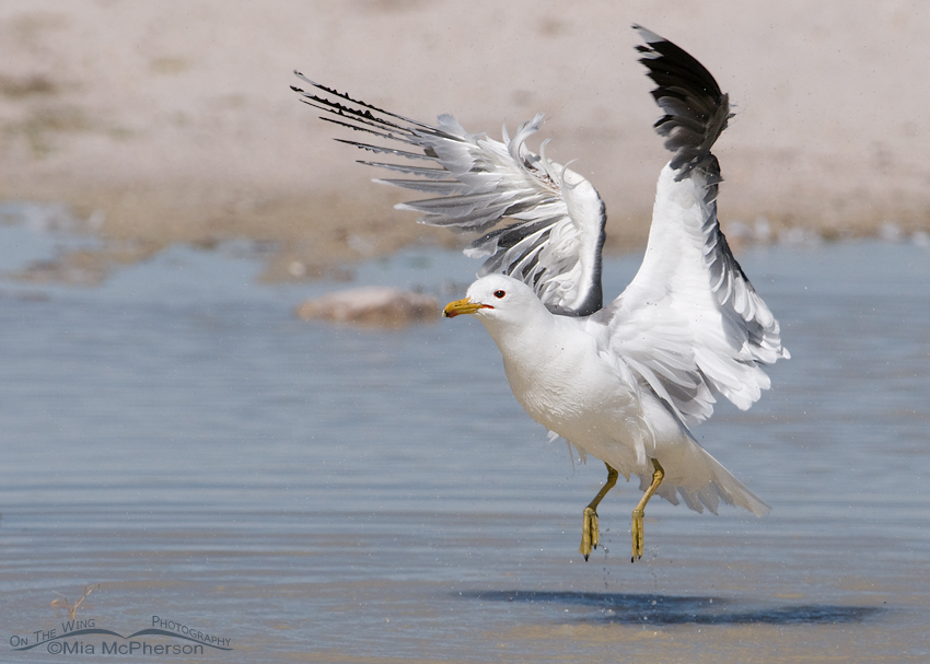 Fluttering California Gull