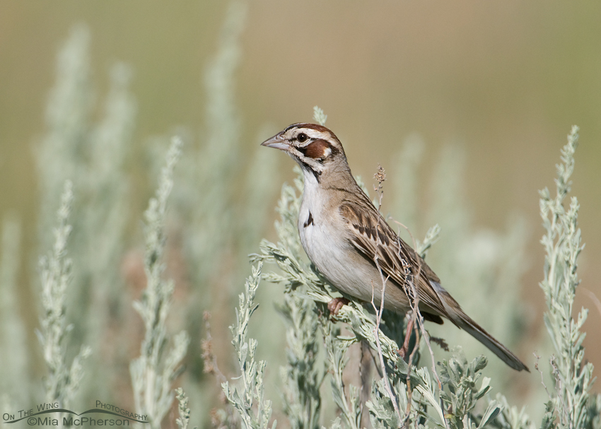 Lark Sparrow perched on a Sagebrush