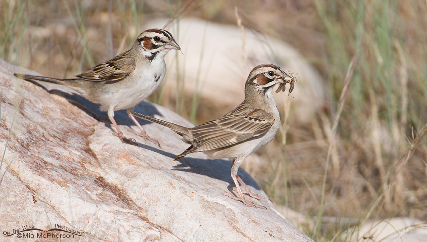 A pair of Lark Sparrows