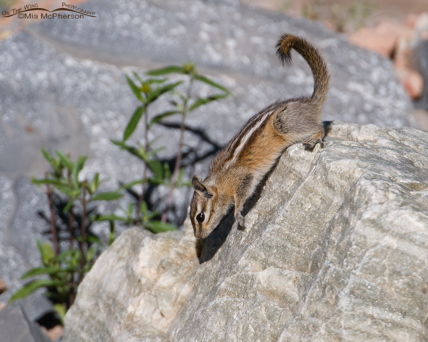 Least Chipmunk walking down a rock
