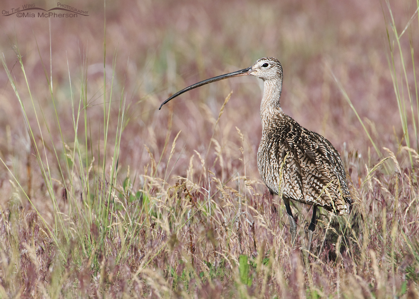 Long-billed Curlew in a field of Cheatgrass