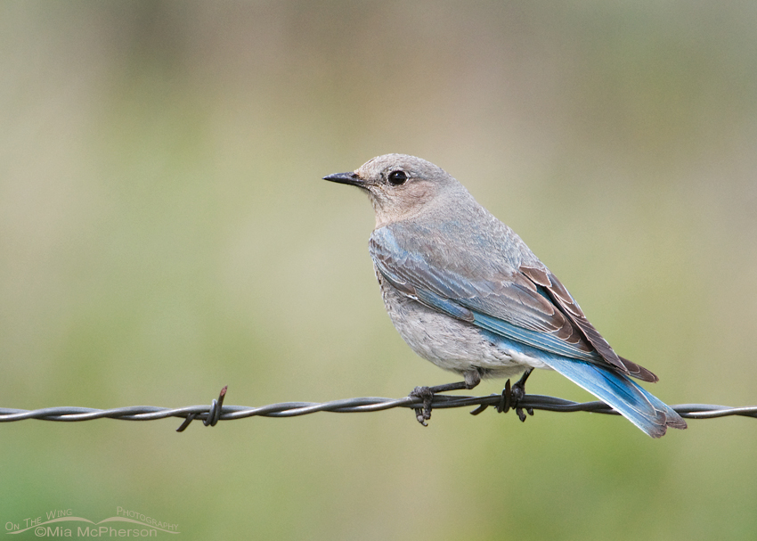 Female Mountain Bluebird on barbed wire
