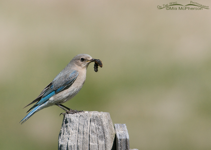 Mountain Bluebird female with prey for her young