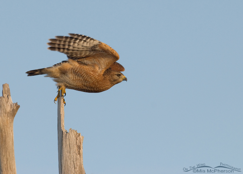 Red-shouldered Hawk - Push and lift off