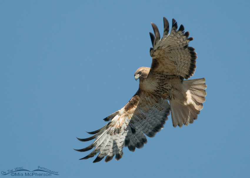 Adult Red-tailed Hawk in a Montana Sky