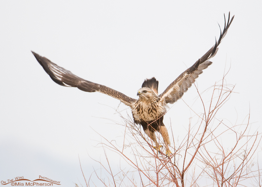 Rough-legged Hawk - Leap and lift off