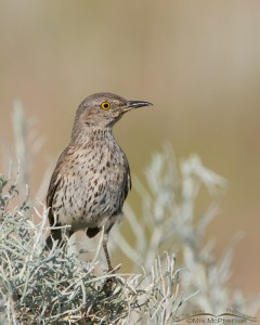 Sage Thrasher on Rabbitbrush