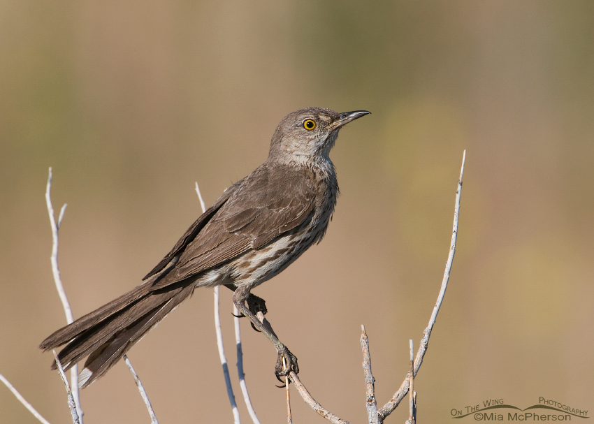 Sage Thrasher perched
