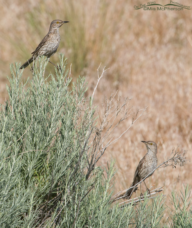 A pair of Sage Thrashers on a Rabbitbrush