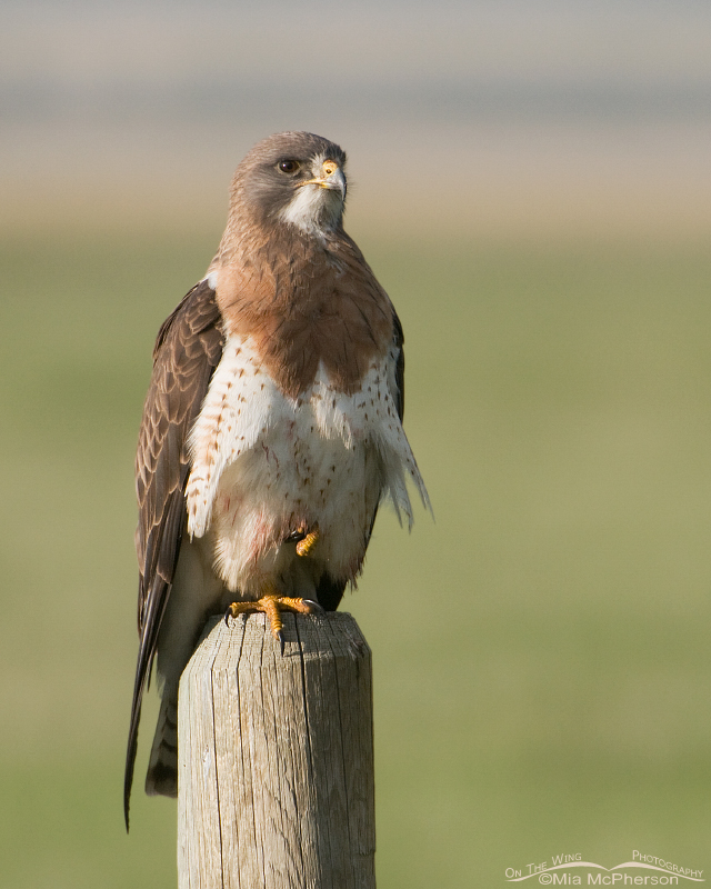 Perched adult Swainson's Hawk
