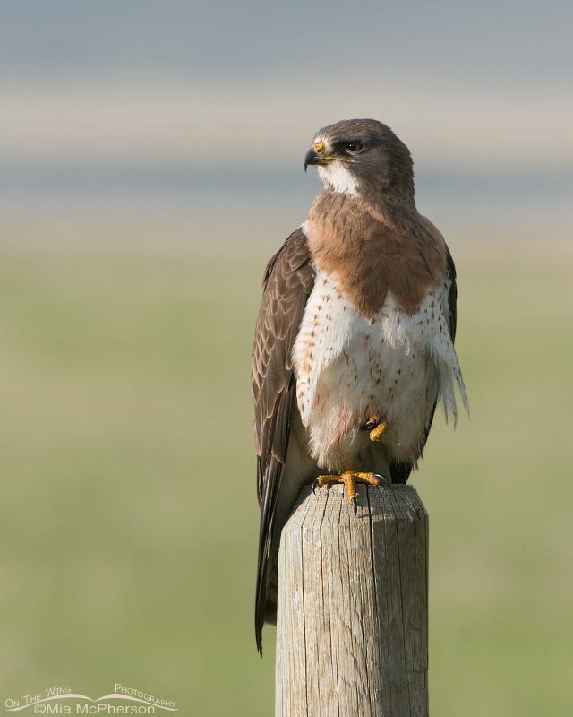 Swainson's Hawk with blood from its meal on its belly