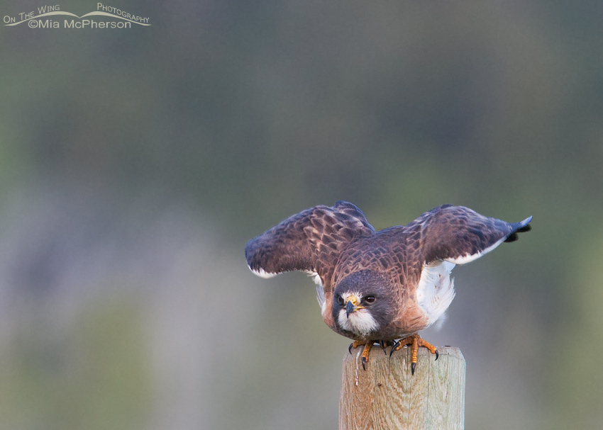 Swainson's Hawk - Squat and lift off