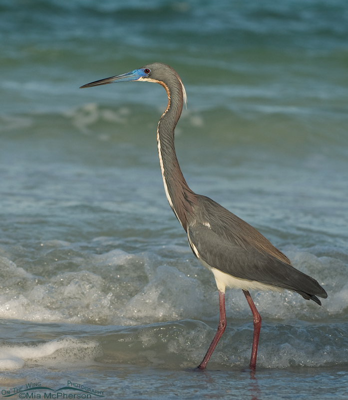 Tricolored Heron standing in the surf of the Gulf of Mexico