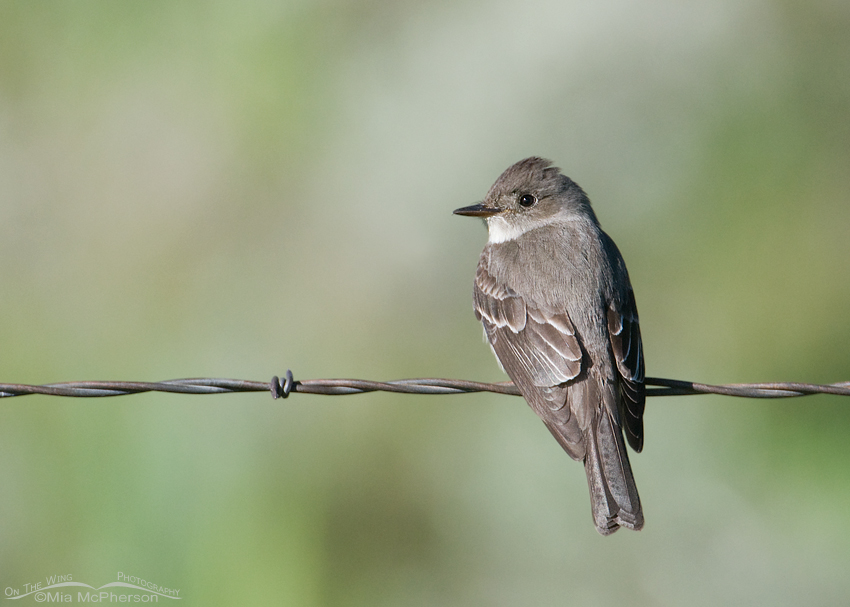 Western Wood-pewee perched on barbed wire