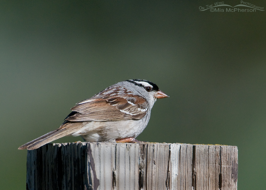 White-crowned Sparrow at the Continental Divide