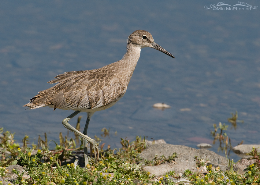 Juvenile Willet on the shore of a lake